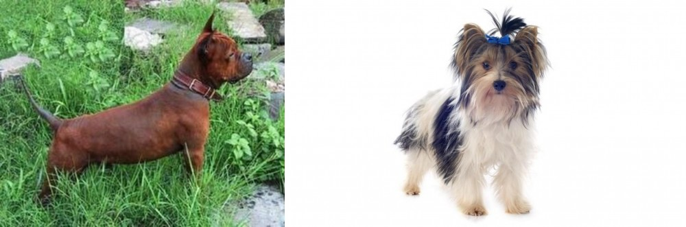Chinese Chongqing Dog vs Biewer