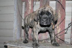 AKC mastiff