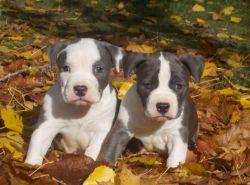 Staffordshire Terrier puppies