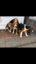 Beagle Tri Colour Puppies