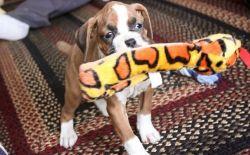 Marvelous Brindle Boxer Puppies. (xxx) xxx-xxx0