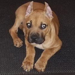 Cane Corso Pup needs home