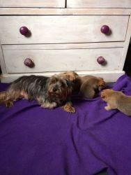 Chorkies Puppies (xxx) xxx-xxx5