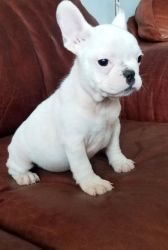 Nice and Healthy French Bulldog Puppies