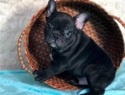 Top Quality French Bulldog Puppies Available Now