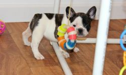 AKC French Bulldog Puppies For Sale