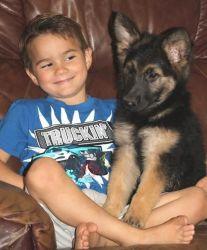 Home Raised German Shepherd Puppies For Sale