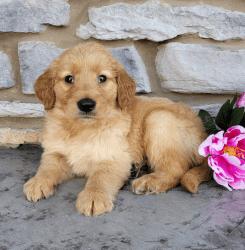 Companion Golden Retriever Pup