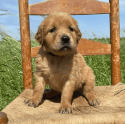 Female Golden retriever Pups