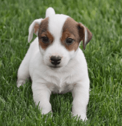 White & Tan Male Jack Russell Pup