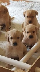 Gorgeous Labrador Retriever Puppies