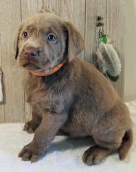AKC Labrador Retriever Puppies