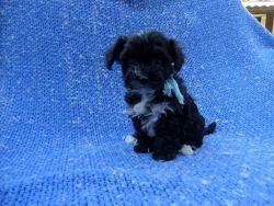 Fun MaltiPoo Puppy
