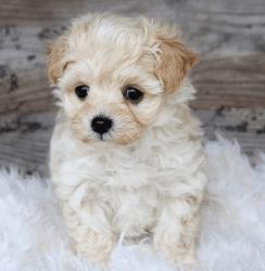 Male Apricot & White Maltipoo Pup