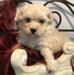Cream Male Maltipoo Pup