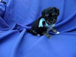 Fluffy Cute Morkie Puppies