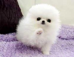 Pomeranian Pups Text (xxx) xxx-xxx8