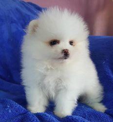 Pomeranian Puppy For Me (xxx) xxx-xxx8