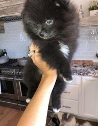 Ckc Pomeranian Puppies Available. (xxx) xxx-xxx2