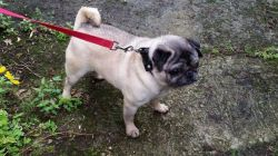 pug puppies for adoption , rehoming and for sale