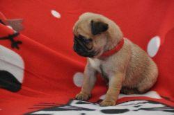 *beautiful Chunky Kc Pug Puppies * for sale
