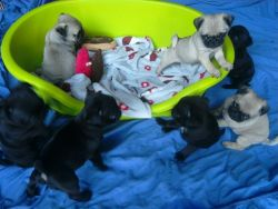 Kc Registered Pug Puppies ' Fawn And Black 'for adoption