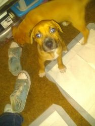 Hound and Blue Nose pit pull for sale
