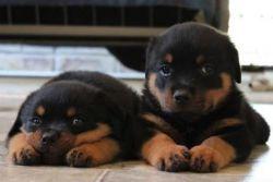 Rottweiler Puppiestext Me (xxx) xxx-xxx8