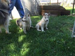 Siberian Husky Super* Gorgeous* X-mas**