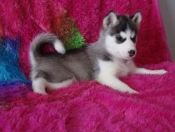 Siberian Husky Puppytext Me (xxx) xxx-xxx8