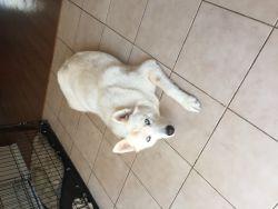 Siberian huskies due dec 5