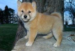 Shiba Inu Puppiestext Me (xxx) xxx-xxx8