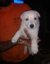 100% Purebred Akc White German Shepherd Puppies