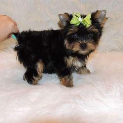 Cutetest Yorkien Puppies (xxx) xxx-xxx3