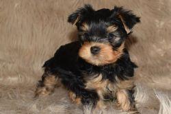 Yorkshire Terrier Puppytext Me(xxx) xxx-xxx8