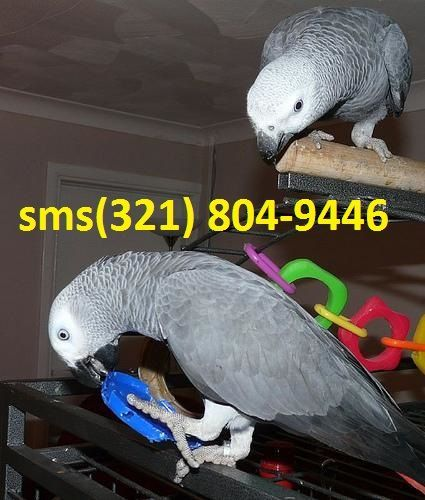 African Grey Birds for sale in Norfolk, VA, USA. price -USD