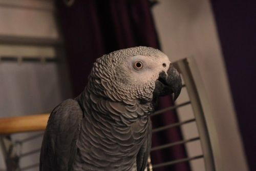 African Grey Parrot Birds for sale in Escondido, CA, USA. price -USD