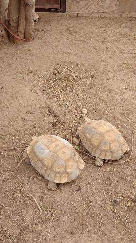 African Spurred Tortoise Reptiles for sale in Phoenix, AZ, USA. price 1500USD