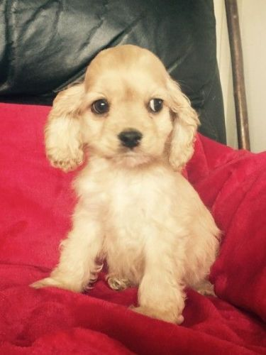 American Cocker Spaniel Puppies for sale in Seattle, WA, USA. price 650USD