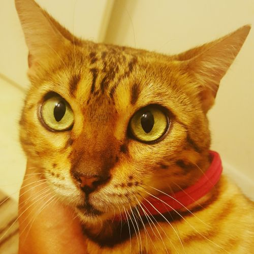 Bengal Cats for sale in Anaheim, CA, USA. price 700USD