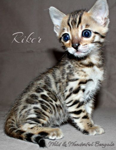 Bengal Cats for sale in Hurricane, WV, USA. price 1500USD