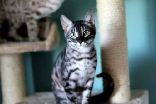 Bengal Cats for sale in Hurricane, WV, USA. price 1200USD