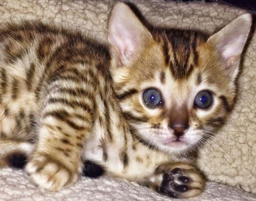 Bengal Cats for sale in Deer Lodge, TN 37726, USA. price 1500USD