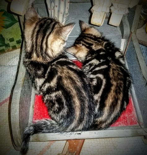 Bengal Cats for sale in Shepherd, TX 77371, USA. price 750USD