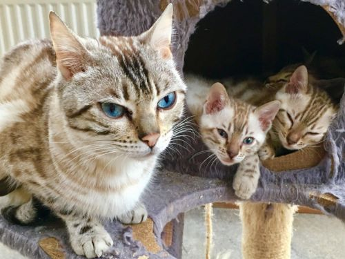 Bengal Cats for sale in Miami Gardens, FL, USA. price -USD