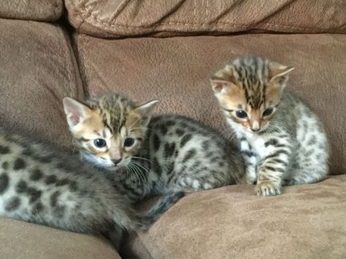 Bengal Cats for sale in Los Angeles, CA, USA. price -USD