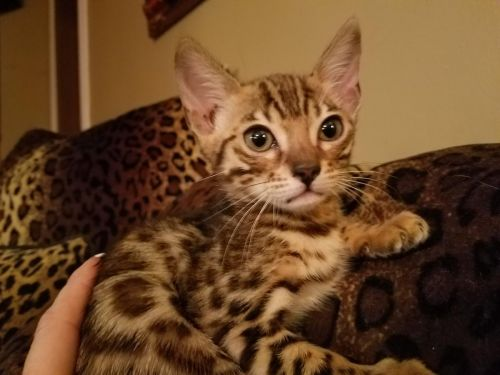 Bengal Cats for sale in San Francisco, CA, USA. price -USD