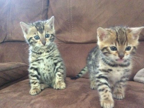 Bengal Cats for sale in Wills Point, TX 75169, USA. price 450USD