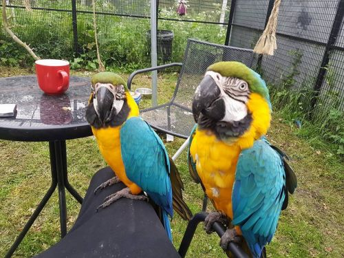 Blue-and-yellow Macaw Birds for sale in Miami Gardens, FL, USA. price -USD