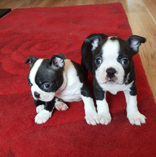 Boston Terrier Puppies for sale in Golf, IL 60029, USA. price 452USD